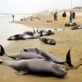 まさか東海地震の前兆?茨城でイルカ約150頭漂着
